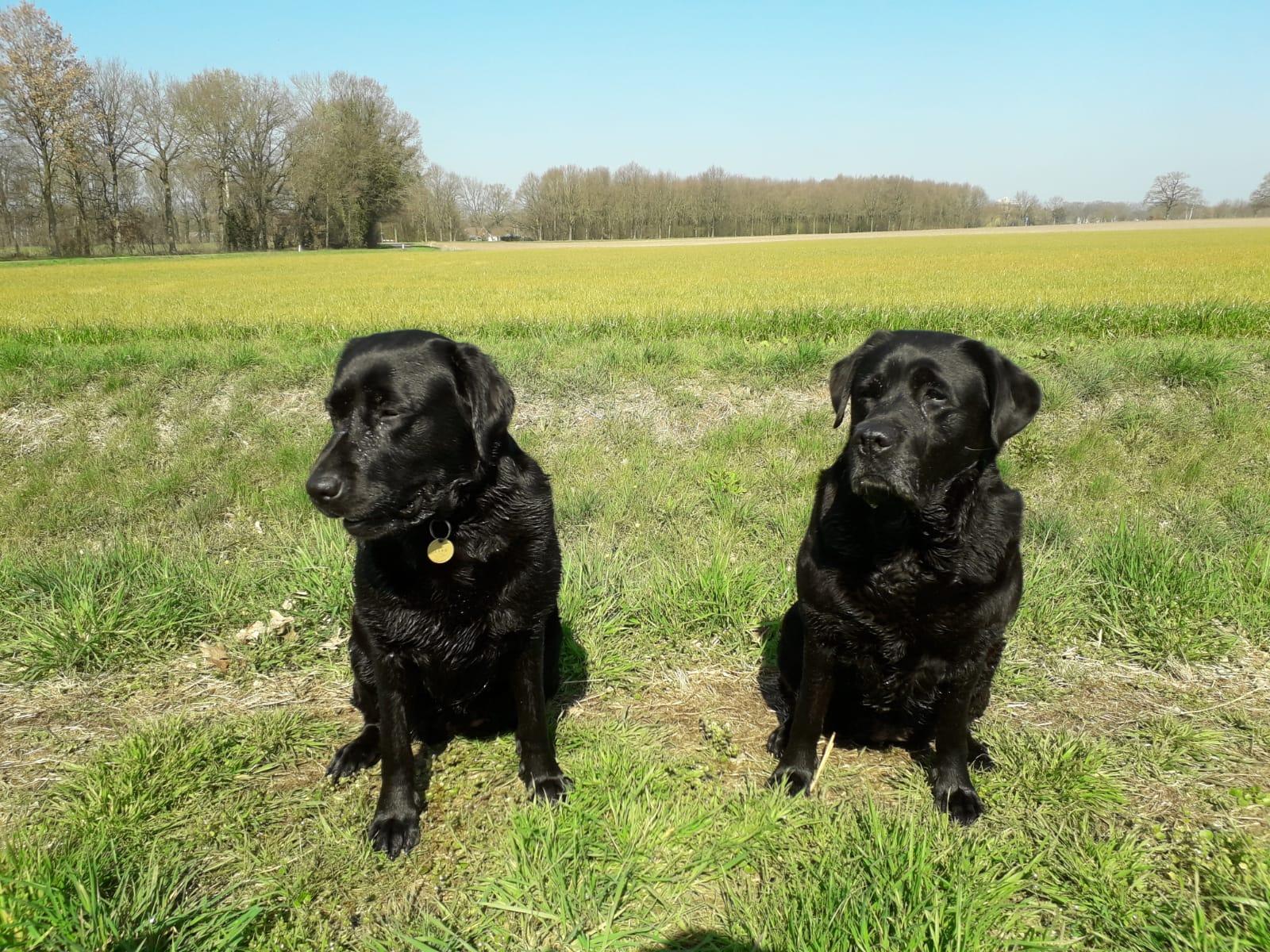 Mijn twee labradors